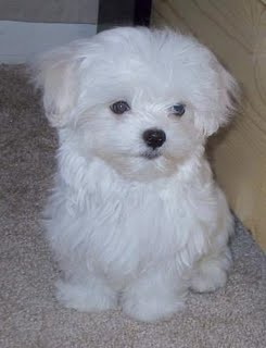 cute chubby maltese